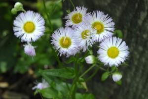 daisy fleabane_2