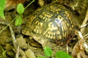 eastern box turtle_3 - Copy