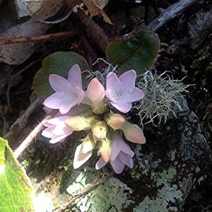 epigaea repens square - pink