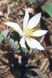 sanguinaria canadensis_07