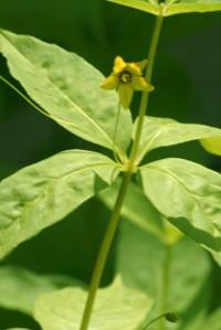 lysimachia quadrifolia 2010_1