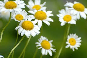 oxeye daisy_0