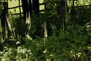 actaea racemosa -1_0