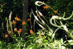 actaea racemosa -1_2