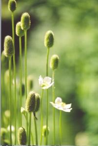anemone virginiana_02