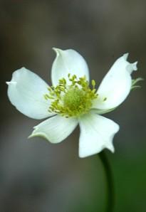 anemone virginiana_03