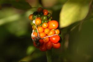 arisaema thiphyllum_02