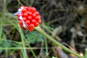 arisaema thiphyllum_03