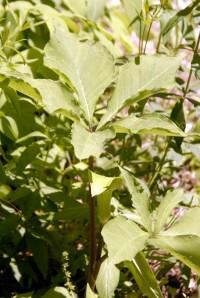 Arisaema triphyllum ssp quinatum_1