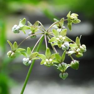 asclepias exaltata flowers_0