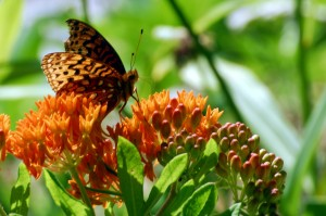 fritillary, great spangled_1