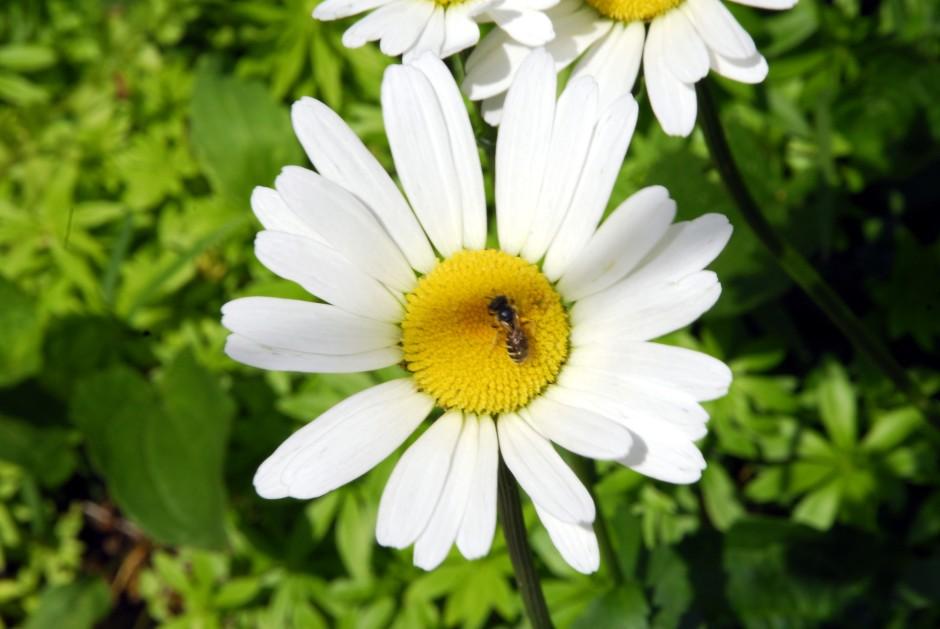leumcanthemum vulgare_7