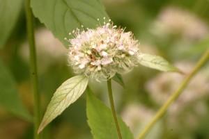 pycnanthemum incanum_0