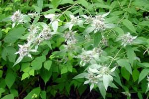 pycnanthenum incanum_0