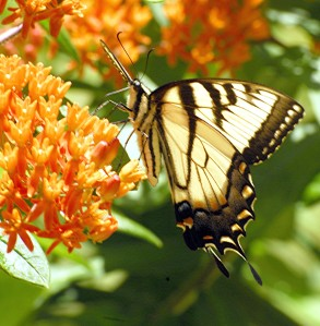 swallowtail, appalachian tiger tail_0