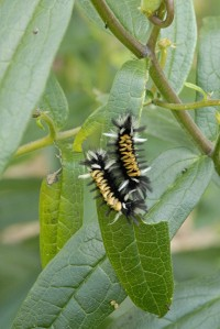 milkweed tussock caterpillar (Euchaetes egle_0
