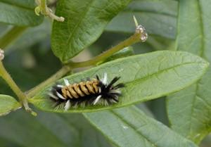 milkweed tussock caterpillar (Euchaetes egle_1