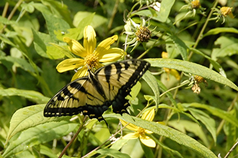 Female Eastern Tiger Swallowtail on Woodland Sunflower