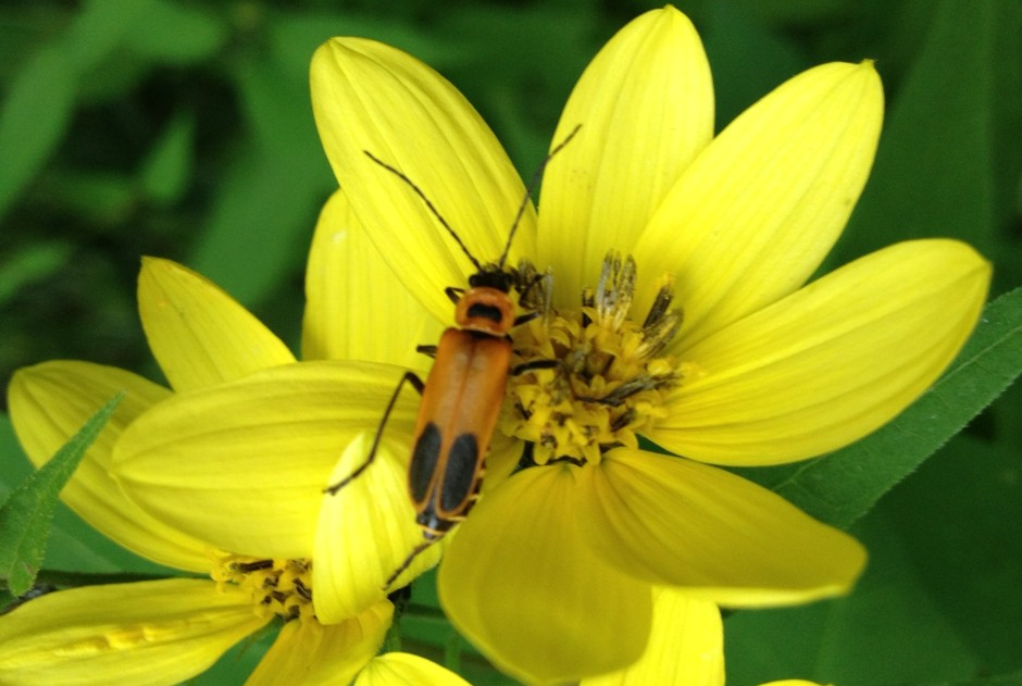 Soldier Beetle on Small-Headed Sunflower