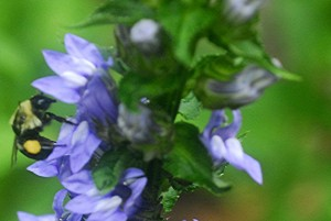 Lobelia and bumble bee_1