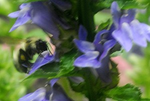Lobelia and bumble bee_4