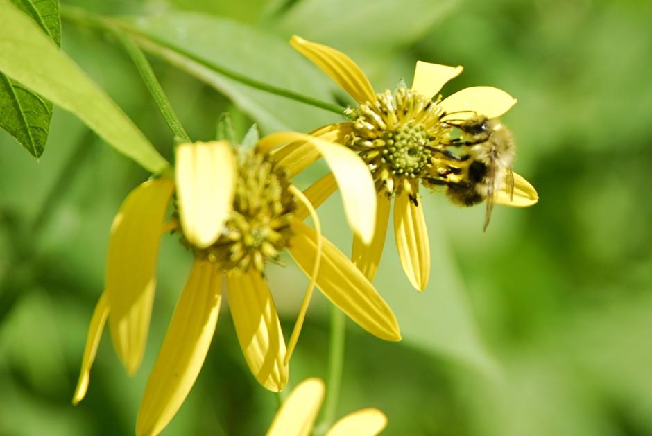 Honey bee on Green-Headed Sunflower