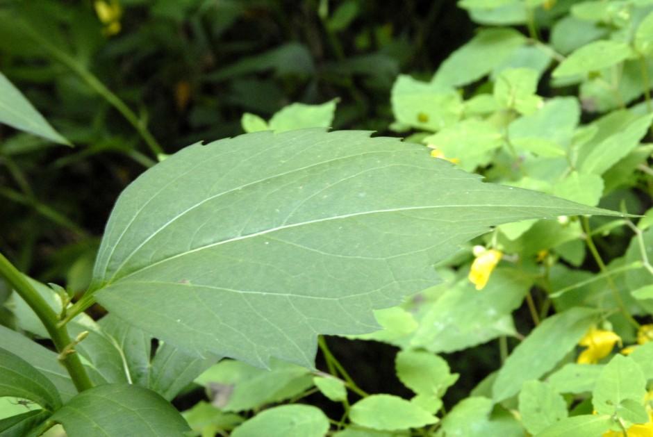 rudbeckia lanciniata_3 - Copy
