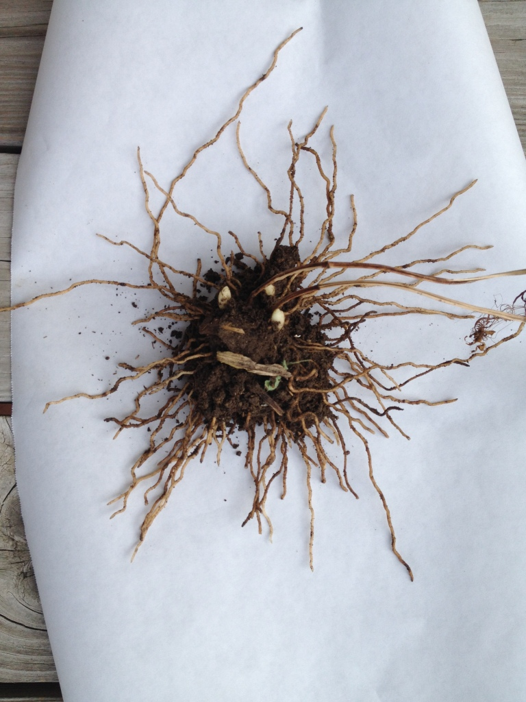 Cypripedium parviflorum roots
