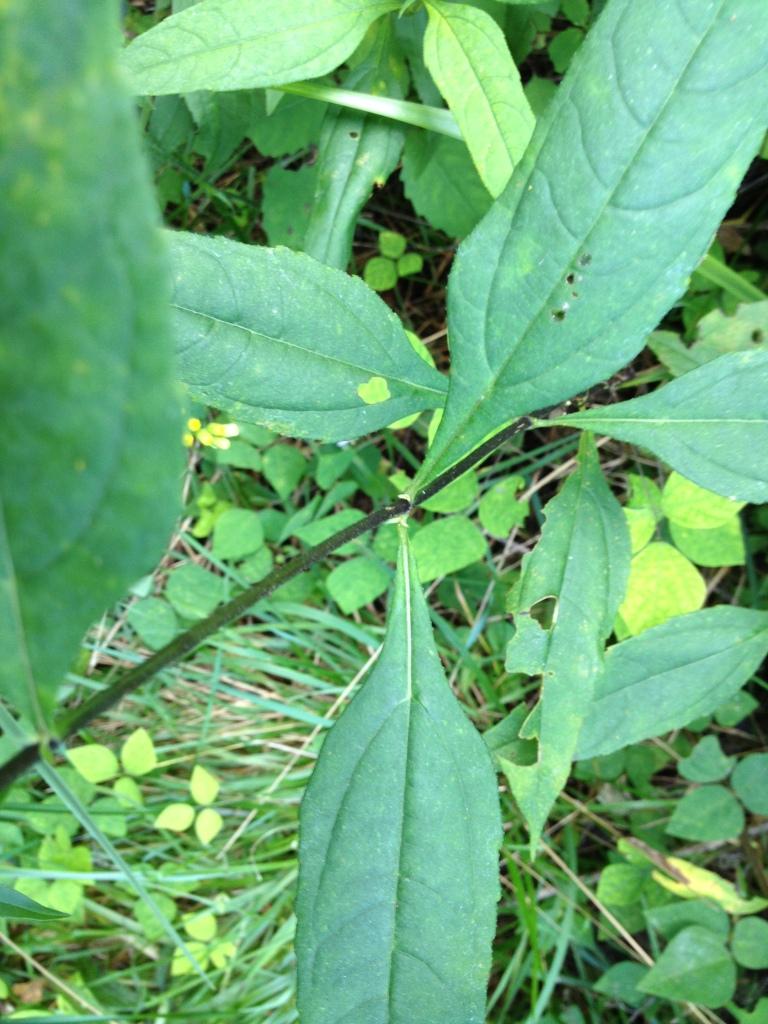 helianthus divaricatus leaves_2
