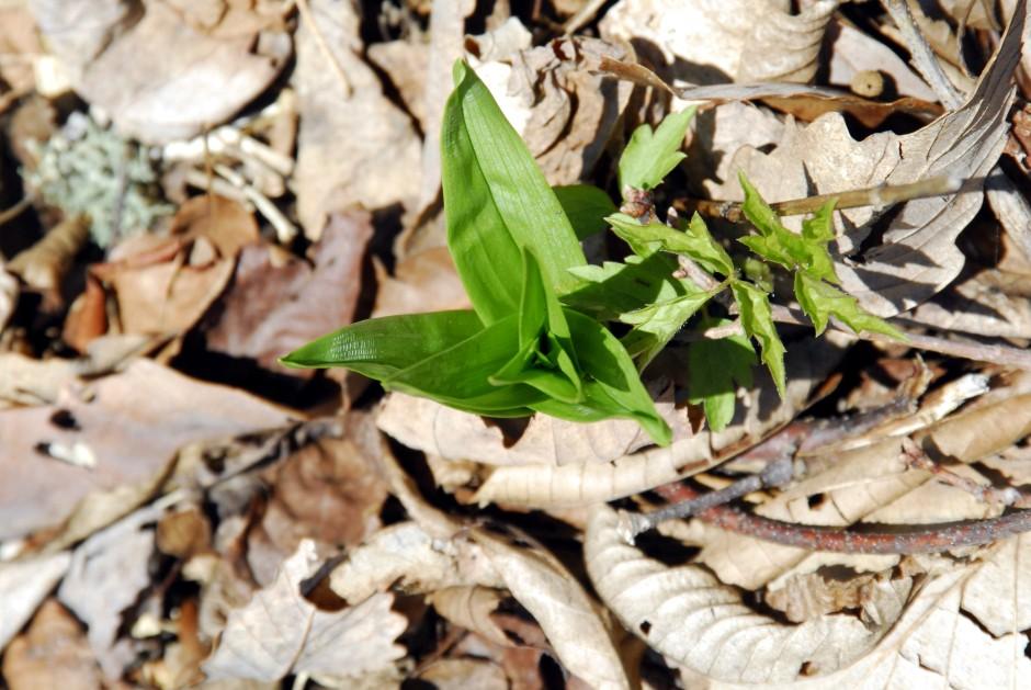 Veratrum latifolium_01