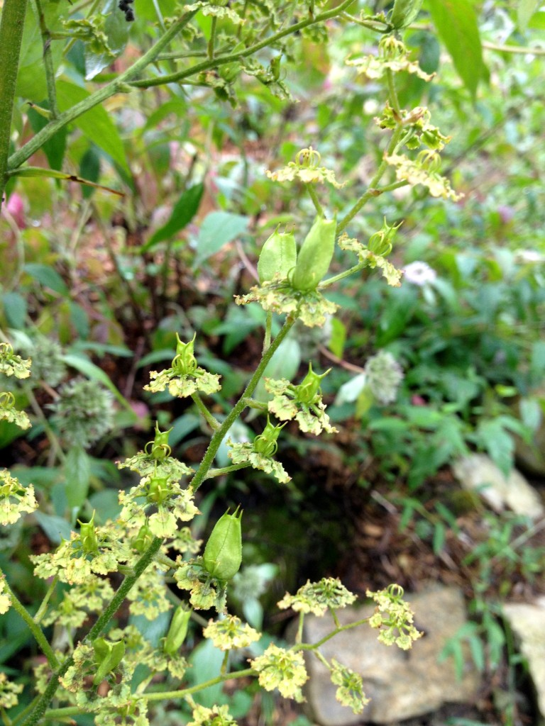 Veratrum latifolium_09