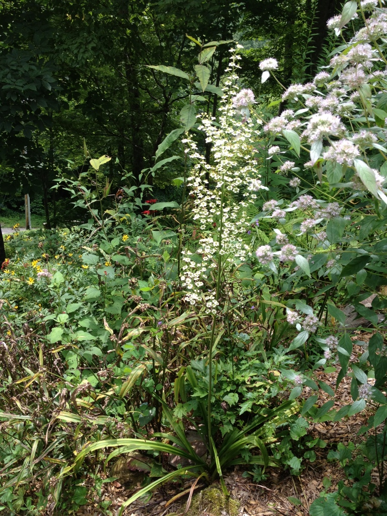 Veratrum latifolium_11