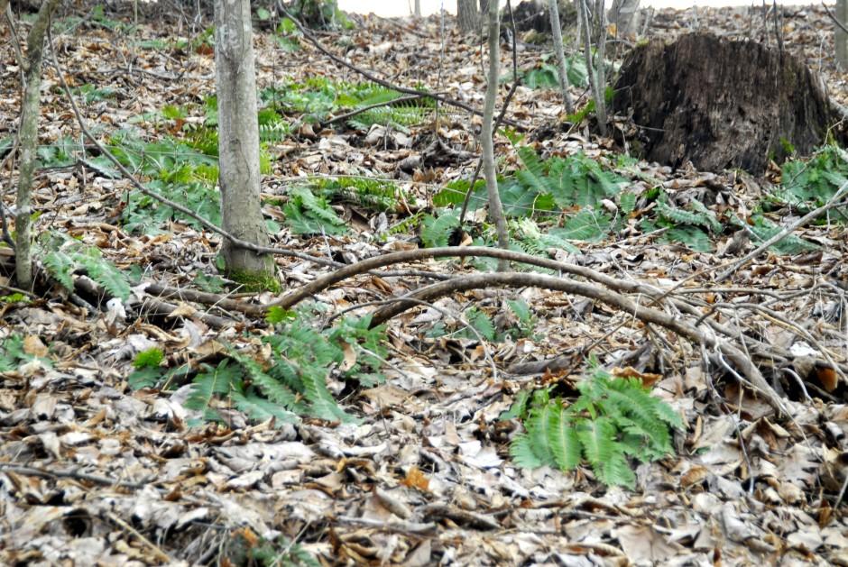 polystichum acrostichoides feb 09_2