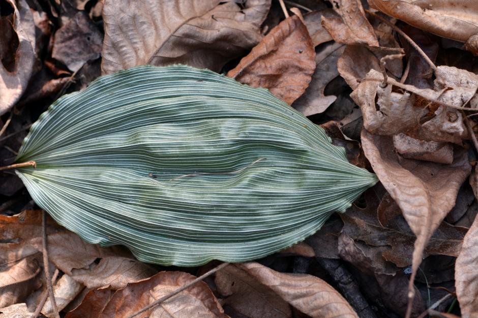 Aplectrum hyemale leaf