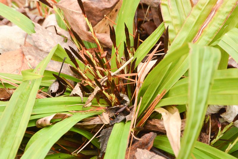 Carex Plantaginea140304-32-1