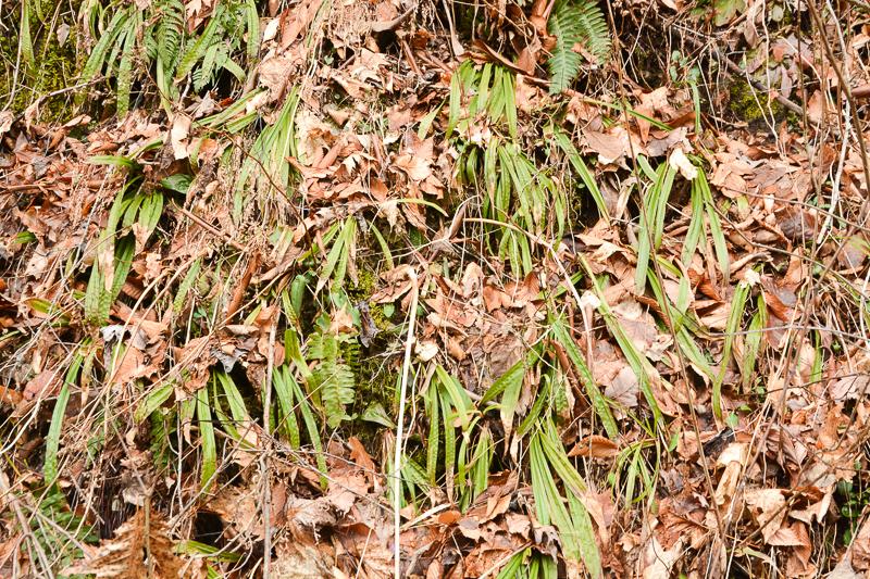 Carex Plantaginea140304-5-2