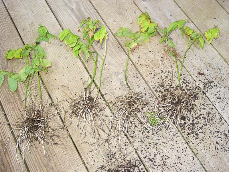 uvularia grandiflora 020807-2-1