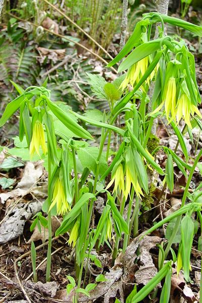 uvularia grandiflora 030426-1