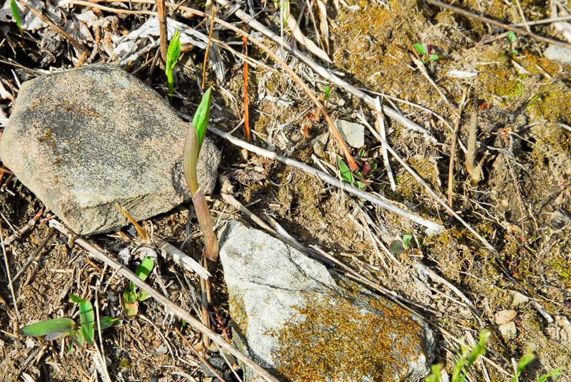 uvularia grandiflora 090416-1