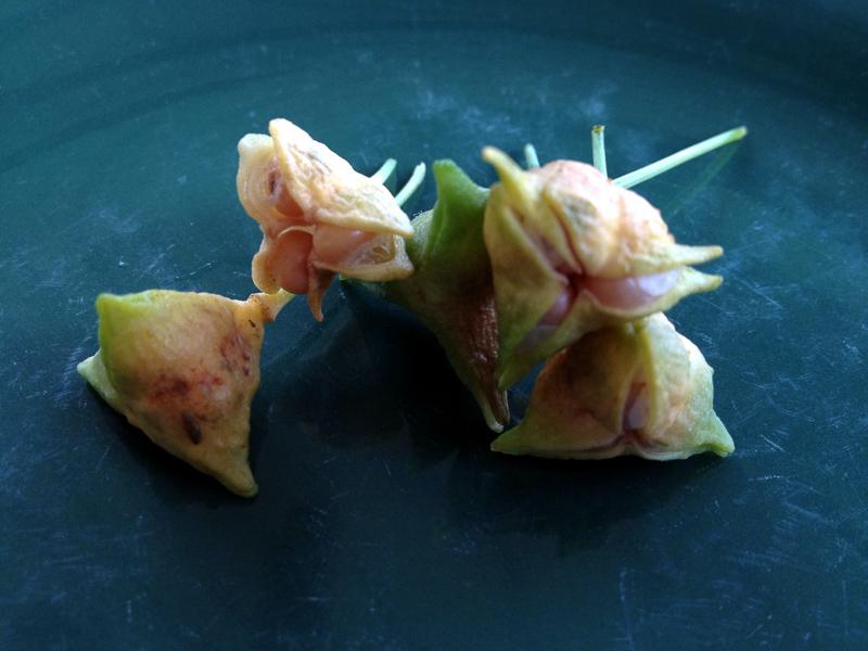 uvularia grandiflora 130808-1
