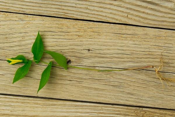 uvularia perfoliata 090513-1-3