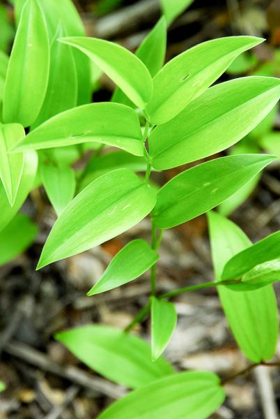 uvularia sessilifolia090516-13-1